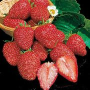 Earliglow Strawberry Plants (25 plants)