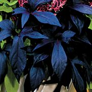 Blackie Sweet Potato Plant