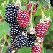 Hull Blackberry Shrub