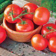 Celebrity Hybrid Tomato Plants (pack of 3)