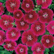 Ideal Violet Dianthus chinesis China Pink Flower Seeds