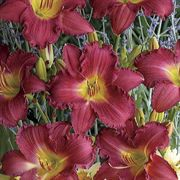 Romantic Returns Daylily