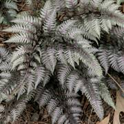 Japanese Silver-Painted Fern
