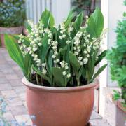 Lily-of-the-Valley Prolificans Alternate Image 1