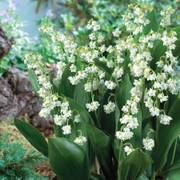 Lily-of-the-Valley Prolificans image