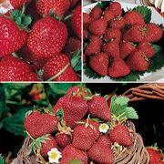 Day-Neutral Strawberry Plant Collection