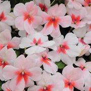 Cherry Splash Hybrid Impatiens Flower Seeds