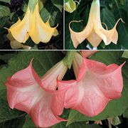 Brugmansia Collection