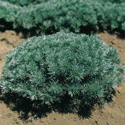 Artemisia Silver Mound image