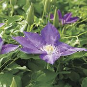 H. F. Young Clematis