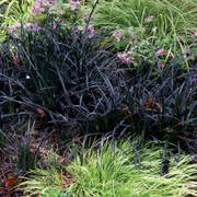 Black Mondo Grass image