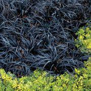 Black Mondo Grass Alternate Image 1