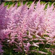 Astilbe 'Finale' Thumb