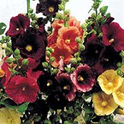 Old Barnyard Hollyhock Mix image
