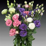 Parks Lisianthus Double Mix