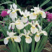 Iris White Swirl