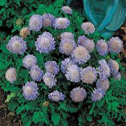 Butterfly Blue Pincushion Flower