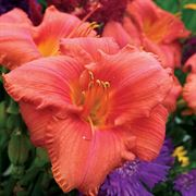 Hemerocallis South Seas image