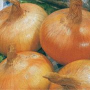 Granex Hybrid 33 Yellow Onion Plants