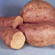 Centennial Sweet Potato Plant Alternate Image 1