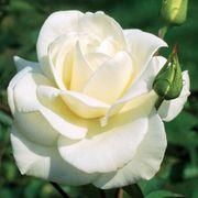 John F. Kennedy Hybrid Tea Rose Thumb