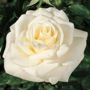 John F. Kennedy Hybrid Tea Rose Alternate Image 1