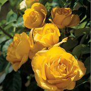 Midas Touch™ Hybrid Tea Rose