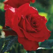 Opening Night™ Hybrid Tea Rose