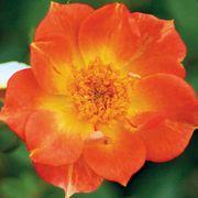 Oso Easy® Paprika Shrub Rose Alternate Image 1