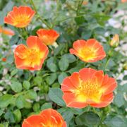 Oso Easy® Paprika Shrub Rose Alternate Image 2