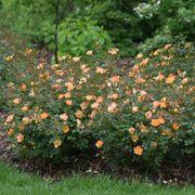 Oso Easy® Paprika Shrub Rose Alternate Image 3