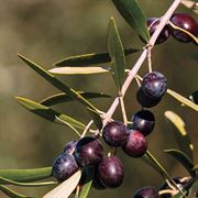 Olive Arbequina Tree