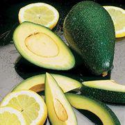 Don Gillogly Avocado Tree
