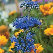 'Longwood Blue' Bluebeard Alternate Image 2