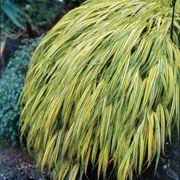 Golden Hakone Grass Alternate Image 1