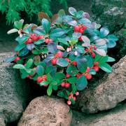 Creeping Wintergreen