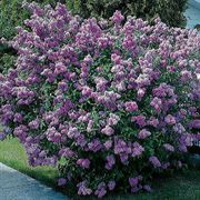 Lavender Lady Lilac Shrub