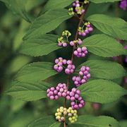 Early Amethyst Beautyberry