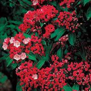 Olympic Fire Mountain Laurel