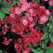Sarah Mountain Laurel