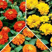 Sunburst Mix Zinnia Seeds