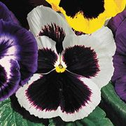 Parks Whopper White Pansy Seeds