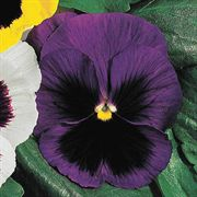 Parks Whopper Blue Pansy Seeds