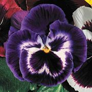 Parks Whopper Purple Pansy Seeds