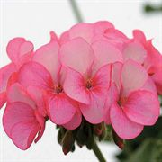 Ice Rose Hybrid Geranium Seeds