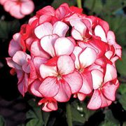 Ice Red Hybrid Geranium Seeds