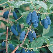 Lonicera Blue Velvet® Honeyberry Thumb