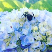 Endless Summer® Hydrangea Alternate Image 4