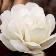 White Rose Magnolia