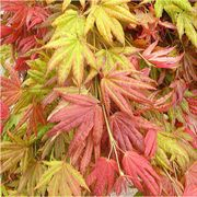 Moonrise Full Moon Japanese Maple